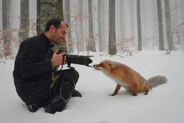 рыжая лиса фото