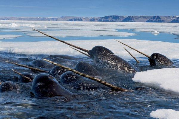 Нарвалы погружаются глубоко под лед, чтобы кормиться арктической треской, а затем, высоко подняв свои бивни, всплывают на поверхность подышать. Ланкастер Саунд, Нунавут, Канада.