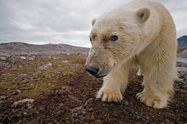 Заглядывая в свое неопределенное будущее, этот любознательный крупный самец медведя заставил камеру сработать и сделал этот автопортрет. Leifdefjorden, Шпицберген, Норвегия.