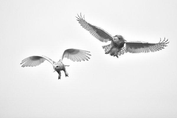 Летящие совы.
