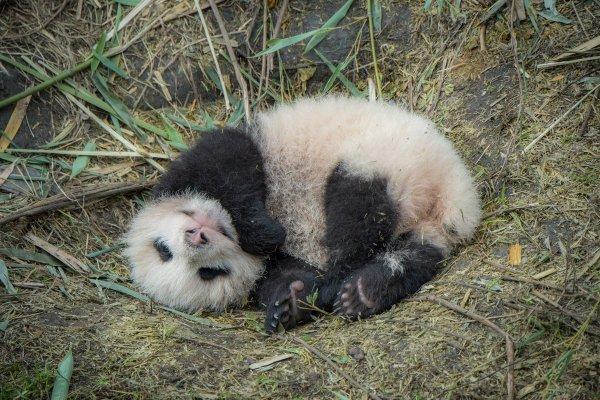 панда китайский медведь