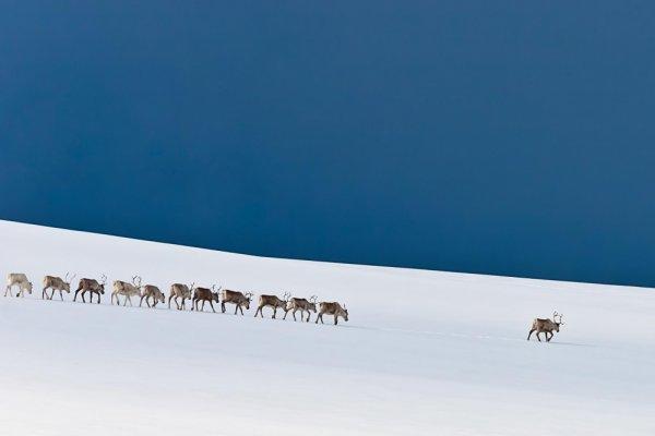 удачный кадр фото - Колонна северных оленей. © Stefan Brenner