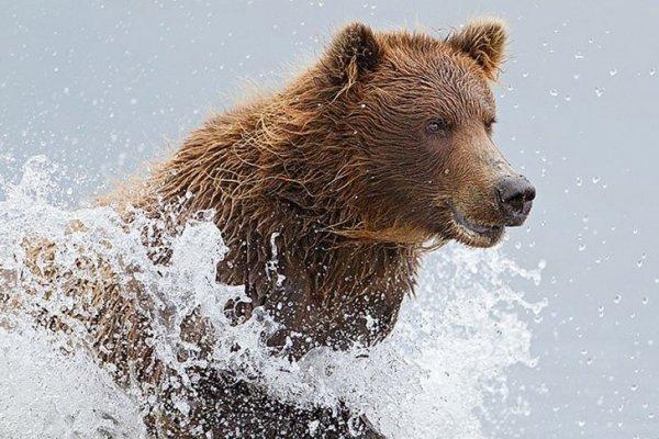 Бурые медведи