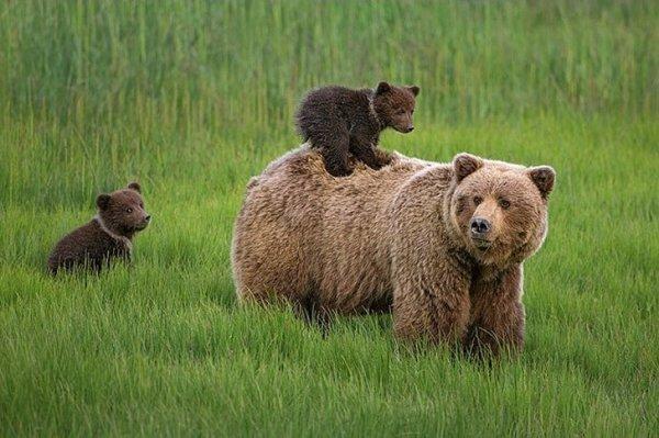 о буром медведе
