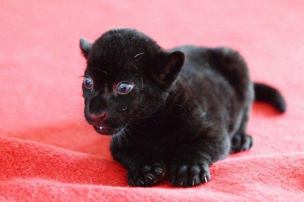 Черный тигр
