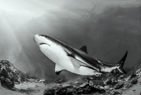 акулы опасные фото Фото: Хулио Сан Хуан