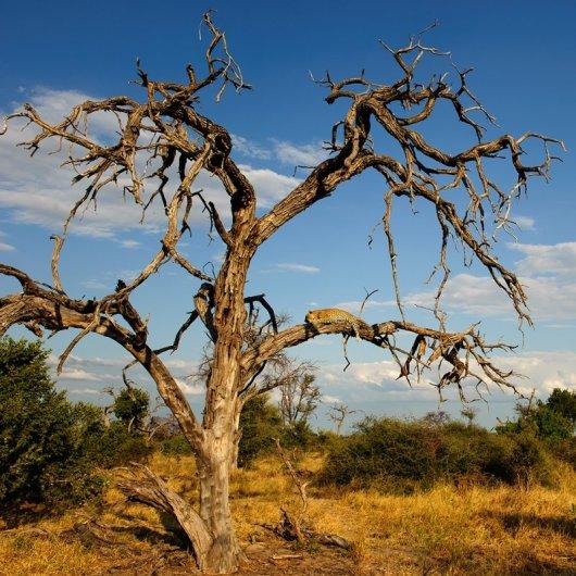 ..На этом дереве я нашел леопарда с добытой импалой.