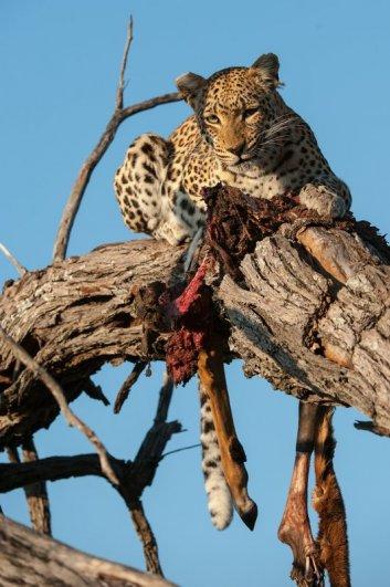 ..Утро .Леопард доедает остатки импалы.