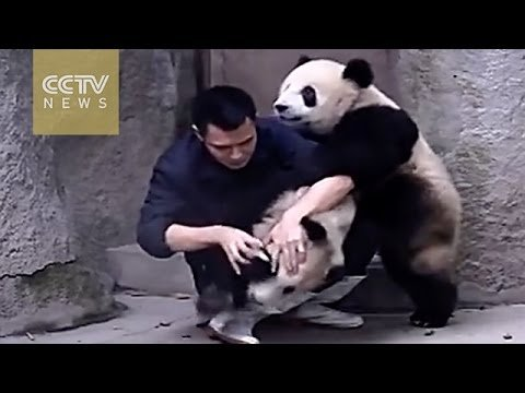 Забавные милые панды, известные на весь интернет